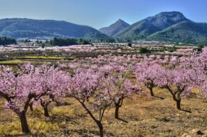 Walk Through The Almond Blossom of Jalon @ Alcalalí | Valencian Community | Spain